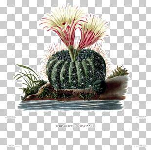 Botanical Illustration Botany Cactaceae Succulent Plant PNG