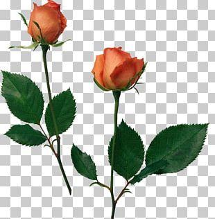 Beach Rose Flower Desktop Garden Roses PNG