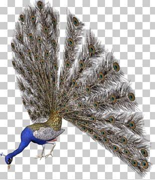 Peafowl Bird Avatar PNG