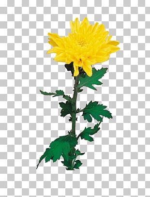 Chrysanthemum Flower Euclidean PNG