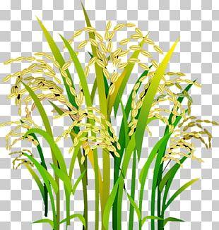 Rice Oryza Sativa PNG