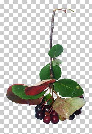 Apple Fruit Tree PNG