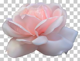 Centifolia Roses Pink Flowers PNG