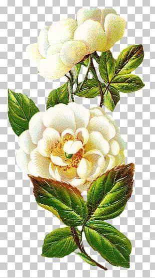 Centifolia Roses Flower Petal PNG