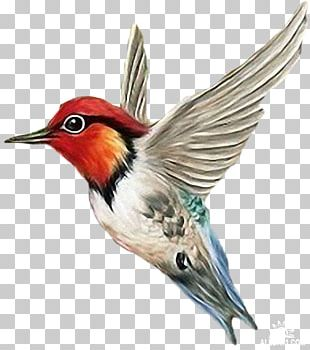 Hummingbird Atlantic Canary Pied Currawong Parrot PNG