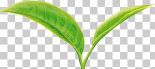 Green Tea Leaf Camellia Sinensis Two Leaves And A Bud PNG