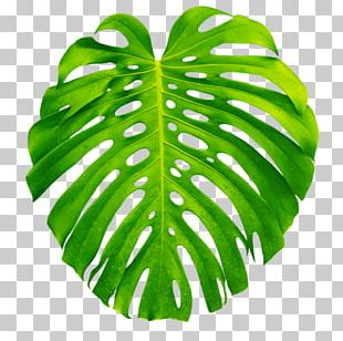 Plant Leaves Leaf Swiss Cheese Plant PNG