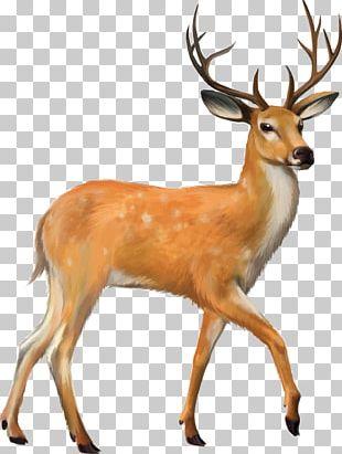 White-tailed Deer Mule Deer PNG