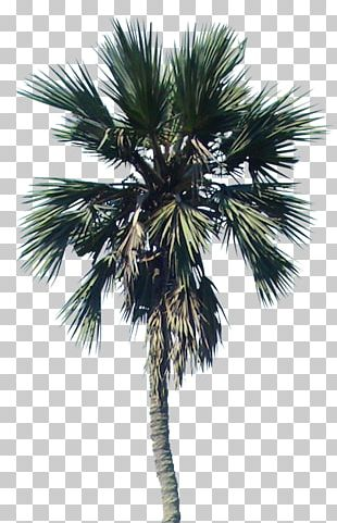 Arecaceae Asian Palmyra Palm Landscape Architecture Interior Design Services PNG
