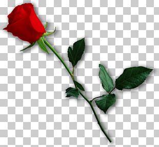 Garden Roses Valentine's Day Heart Love Centifolia Roses PNG