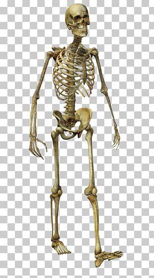 Human Skeleton Homo Sapiens Bone PNG