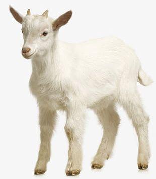 Goat Farm PNG