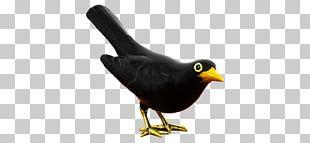 Common Myna Galliformes Beak Fauna PNG