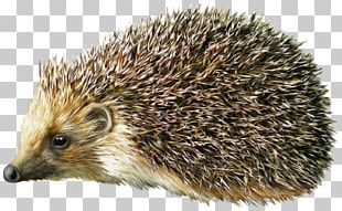 Hedgehog PNG