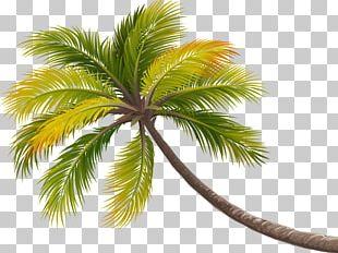Coconut Tree Arecaceae PNG
