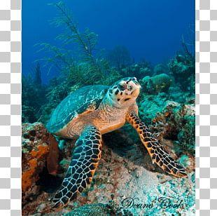 Loggerhead Sea Turtle Coral Reef Hawksbill Sea Turtle Tortoise PNG