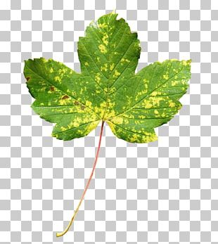 Maple Leaf Green Autumn Leaf Color PNG