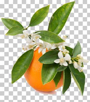 Orange Blossom Orange Juice Orange Flower Water PNG