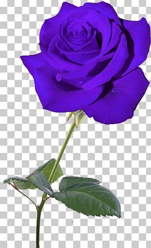 Blue Rose Garden Roses Flower Centifolia Roses PNG
