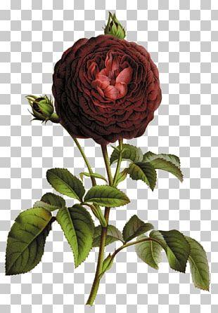Botany Botanical Illustration Printmaking Rose Illustration PNG
