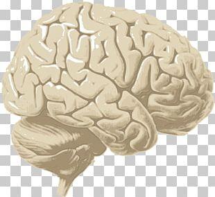 Human Brain Cerebrum Cerebral Cortex Cerebral Hemisphere PNG