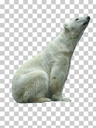 Polar Bear Fur Terrestrial Animal Snout PNG