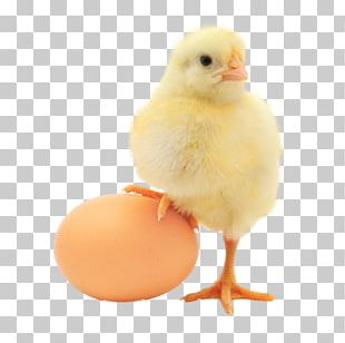 Plymouth Rock Chicken Chicken Or The Egg Organic Food Organic Egg Production PNG