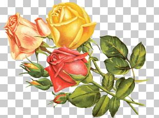 Vintage Roses: Beautiful Varieties For Home And Garden Yellow PNG