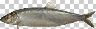 Milkfish Herring PNG