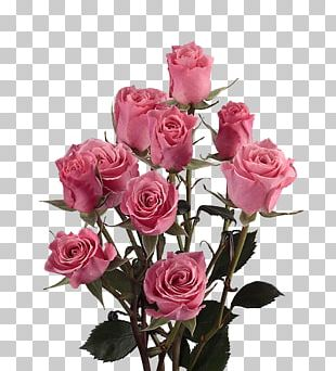 Garden Roses Cabbage Rose Cut Flowers Pink PNG