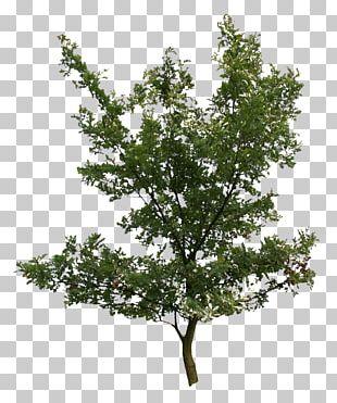 Tree Oak Plant Birch PNG
