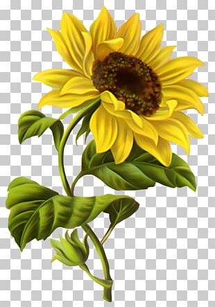 Common Sunflower Drawing Watercolor Painting Sketch PNG