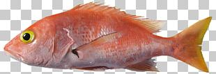 Northern Red Snapper Fish Products Marine Biology Fauna PNG