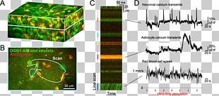 Two-photon Excitation Microscopy Somatosensory System Brain Cerebral Cortex PNG