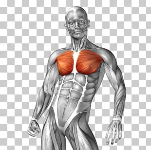 Human Anatomy Muscle Illustration PNG
