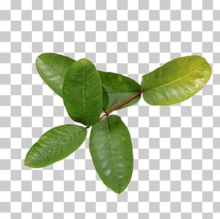 Common Guava Leaf Tropical Fruit Health PNG