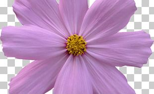 Garden Cosmos Flower Garden Cut Flowers PNG