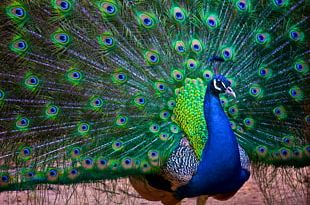 India Bird Asiatic Peafowl Rock Dove Columbidae PNG