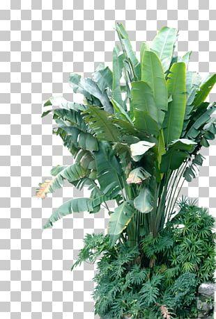 Musa Basjoo Leaf Banana Plant PNG