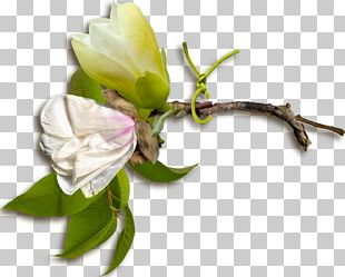 Rose Family Floral Design Cut Flowers Bud Plant Stem PNG