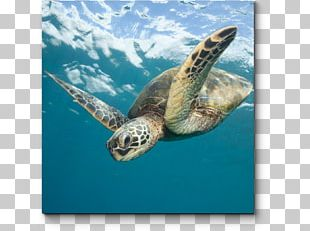 Loggerhead Sea Turtle Sea Turtle Conservancy Green Sea Turtle Olive Ridley Sea Turtle PNG