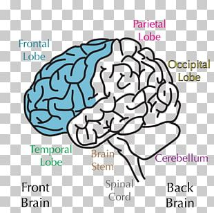 Lobes Of The Brain Frontal Lobe Temporal Lobe Parietal Lobe PNG