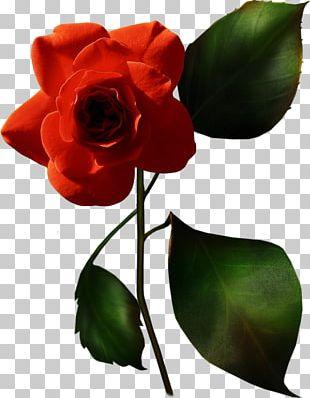 Garden Roses China Rose French Rose Blue Rose Flower PNG