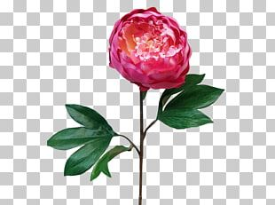 Garden Roses Cabbage Rose Cut Flowers Peony Vase PNG