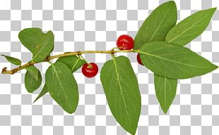 Lingonberry Silver Buffaloberry Holly Family Barbados Cherry PNG