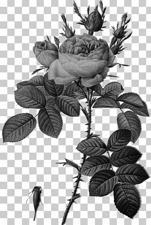 Les Roses バラ図譜 Botanical Illustration Botany PNG