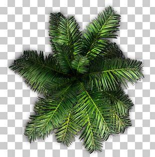 Tree Plant Saribus Rotundifolius Areca Palm PNG