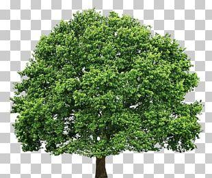 Tree Oak Pruning PNG