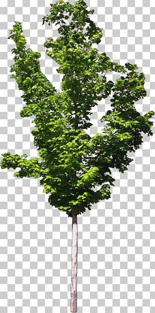 Zelkova Serrata Tree Plant Bonsai PNG
