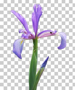 Northern Blue Flag Orris Root Plants Cut Flowers Rainbow PNG